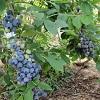 bluebery