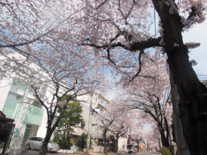 普段の風景の中に咲く桜も良いものです