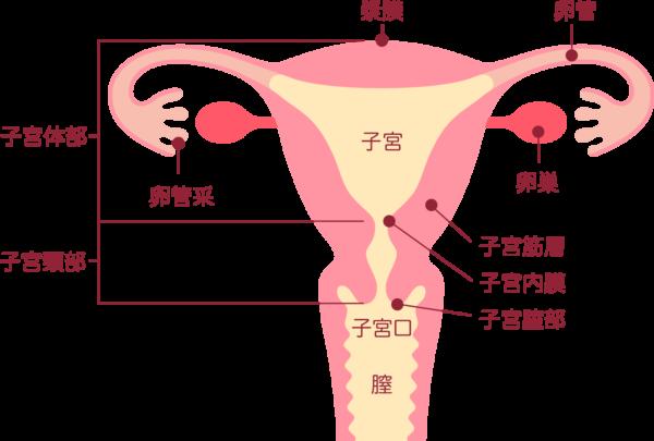 子宮 構造